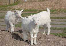 Three cute white goat kids on earth Stock Images