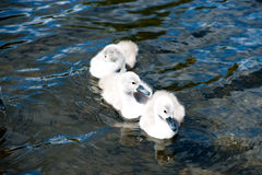 Three Cygnet Stock Image