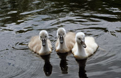 Three Cygnets royalty free stock photos