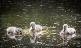 Three cygnets on lake eating water plant Royalty Free Stock Images