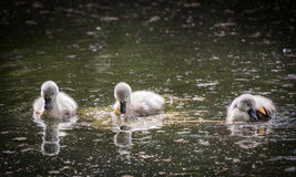 Three cygnets on river with reflection,swimming and scratching Stock Photo