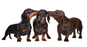 Three dachshund dogs kissing Stock Images
