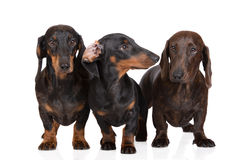 Three dachshund dogs together on white Royalty Free Stock Photography