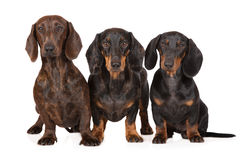 Three dachshund dogs together on white Stock Image