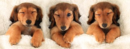Three dachshund puppies royalty free stock image