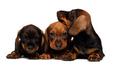 Three Dachshund puppies Stock Images