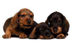 Three Dachshund puppies Royalty Free Stock Photography