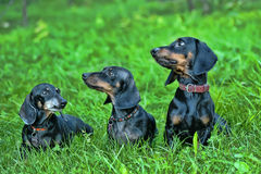 Three dachshunds. On the grass royalty free stock photo