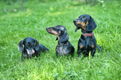 Three dachshunds. On the grass stock photography