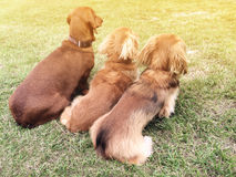 Three dachshunds stock photography