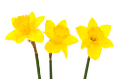 Three daffodil Stock Photos