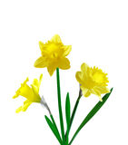 Three daffodil. Three yellow daffodil flower, translucent and isolated Royalty Free Stock Photo