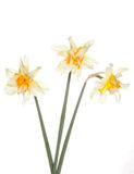 Three daffodil flowers Stock Images