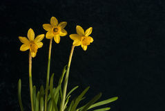 Three daffodils against dark background. Three miniature daffodils against a dark background Royalty Free Stock Photos