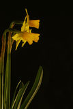 Three daffodils against dark background. Three miniature daffodils against a dark background stock images