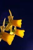 Three daffodils against dark background. Three miniature daffodils against a dark background Royalty Free Stock Photo