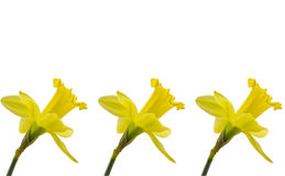 Three daffodils on white background Royalty Free Stock Photos