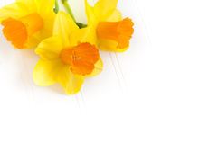 Three Daffodils on White Bead Board Stock Image