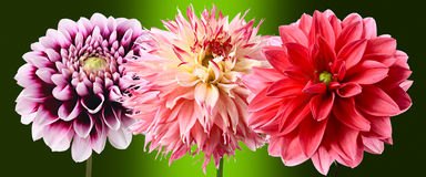 Three dahlias Stock Images