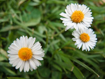 Three daisies. In a green field Stock Photo
