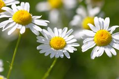 Three daisies. Closeup of camomile flowers - shallow focus depth royalty free stock photography