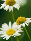 Three Daisies. Isolated on a green background Royalty Free Stock Photo