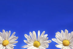 Three daisies. Against the blue sky Stock Image