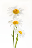 Three daisies Stock Images