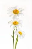 Three daisies Stock Images