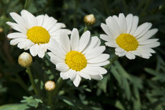 Three Daisies Royalty Free Stock Image
