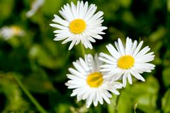 Three daisies. Spring meadow with three daisies. Macro shot, shallow depth of field Royalty Free Stock Images