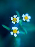Three daisies. Three tiny daisies with a blue background Stock Photos