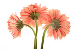 Three Daisies Royalty Free Stock Photos