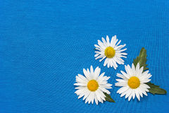 Three daisies on a blue  background Royalty Free Stock Image