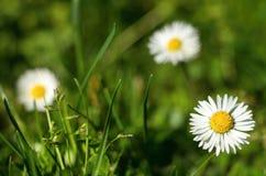 Three daisies Stock Photo