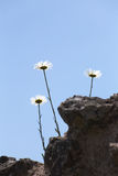 Three Daisies Growing In The Sky Stock Photos