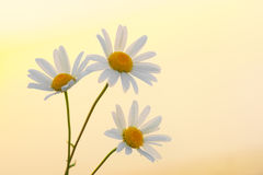Three daisies. Stock Image