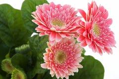 Three daisies on white Royalty Free Stock Photos