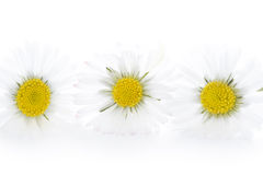 Three daisies on a white background Stock Photography