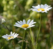 Three daisy. Three summer flowers royalty free stock photography
