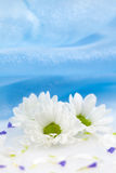 Three daisy Royalty Free Stock Image