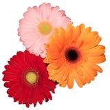 Three daisy flower. Three transvaal daisy flower in white background stock photography