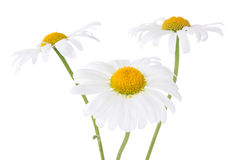 Three daisy flowers Royalty Free Stock Photo
