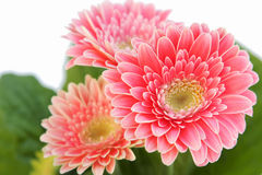 Three daisy flowers Royalty Free Stock Images