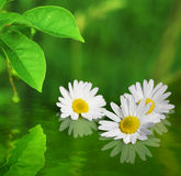 Three daisy flowers on green background reflected in water Stock Photo