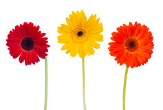 Three  daisy herbera flowers Stock Image