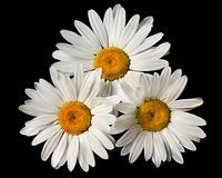 Three Daisy's Royalty Free Stock Image