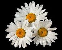 Three Daisy's Royalty Free Stock Image