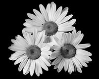 Three daisy's black and white Royalty Free Stock Photo