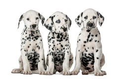 Three Dalmatian puppies sitting. In front of a white background stock photography